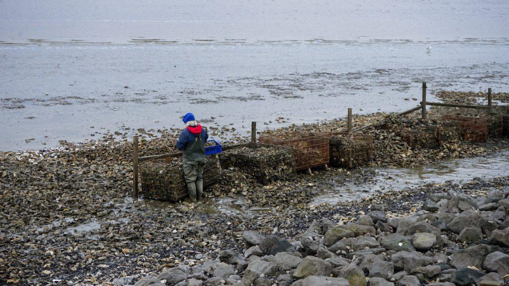 oesters rapen waddenzee